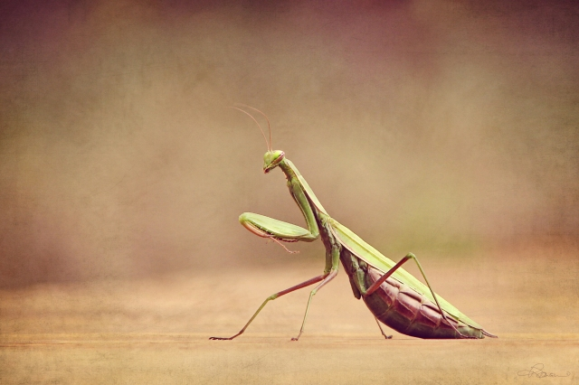 Beautiful praying mantis print by Renee Dawson